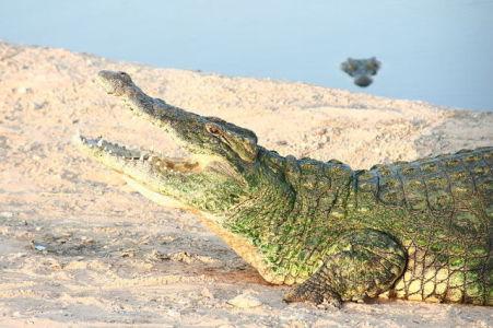 Crocodile (Public Domain Image)