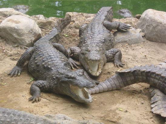 Crocodiles (Photo by Kmanoj/Creative Commons via Wikimedia)