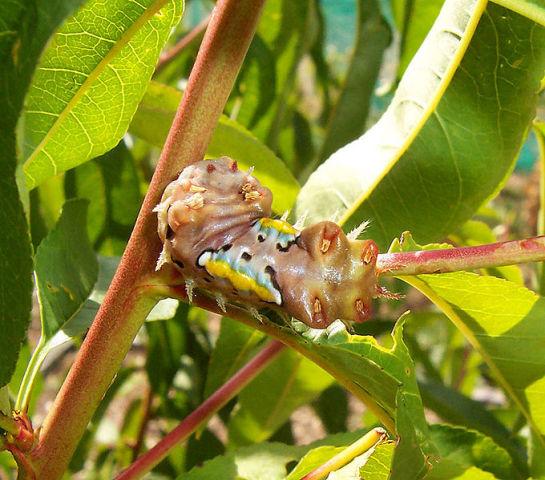 Cup Moth Caterpillar (Photo by Fir002/Creative Commons via Wikimedia)