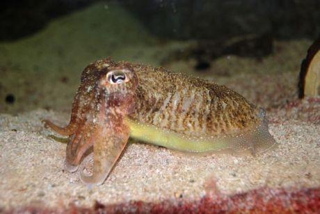 Cuttlefish (Photo by Jarek Tuszynski/Creative Comons via Wikimedia)