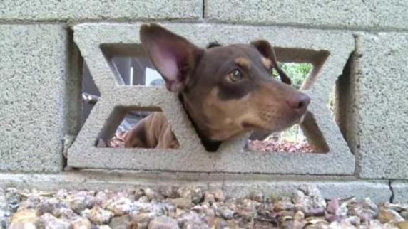 Chip, the Dachshund, Stuck in a Cinder Block Wall (You Tube Image)