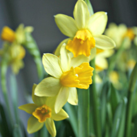 Poisonous Plants: 10 Outdoor Plants Poisonous To Cats: Daffodils can be poisonous to cats