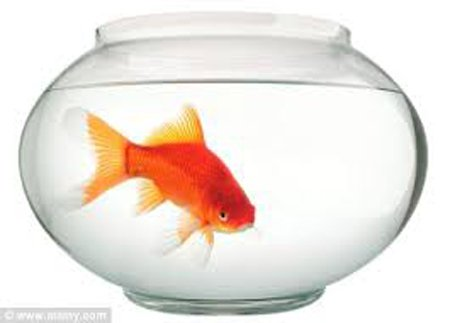 Goldfish in bowl: Source: dailymail.co.uk