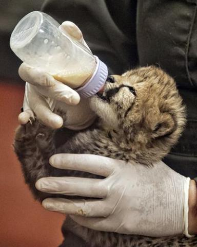 Cheetah, rejected by mom, needs hand-feeding: Photo by Janice Sveda