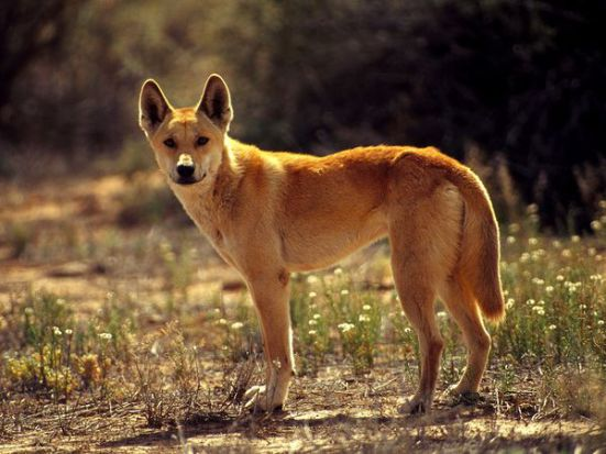 Dingo, or Uluru, native to Australia: image via nationalgeographic.com
