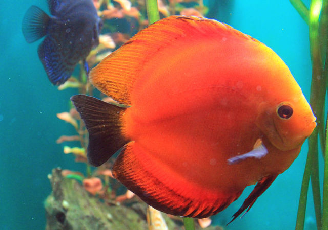 Discus. Photo by karelj, Wikipedia.