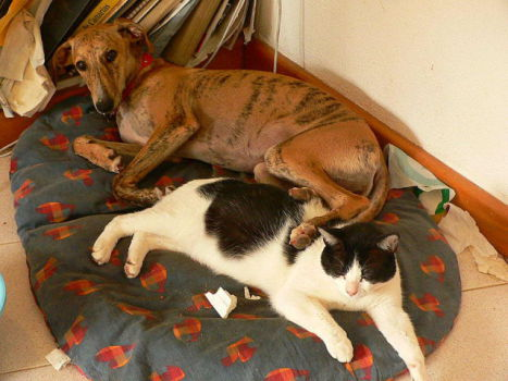 Greyhounds are loving dogs, even when sharing a bed with a cat. (Photo by Merianne Perdomo/Creative Commons via Wikimedia)