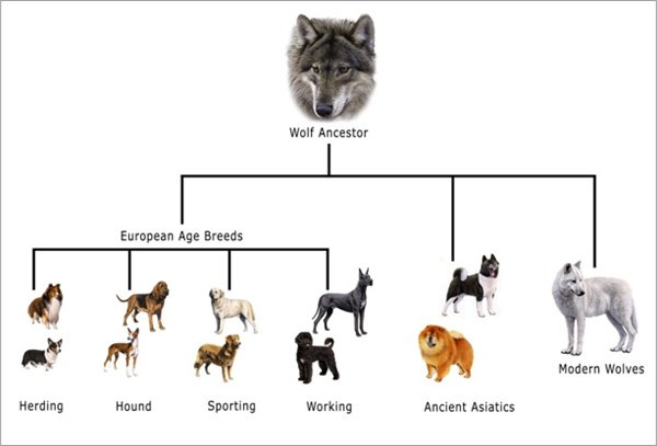 Dogs are direct descendants of Grey Wolves.