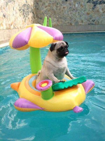 Floating Pug (Image via tumblr)