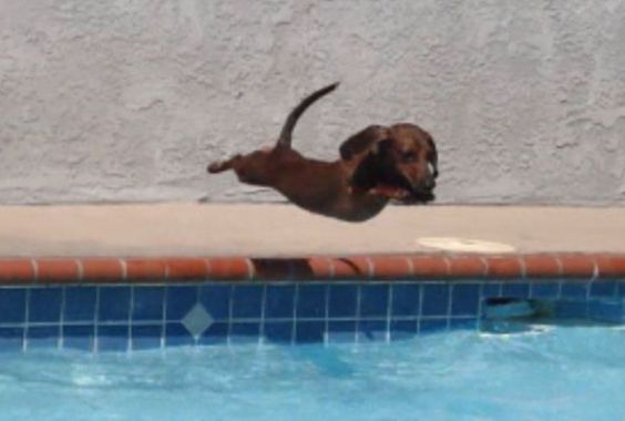 Cute Diving Dachshund (Photo via Imgur)