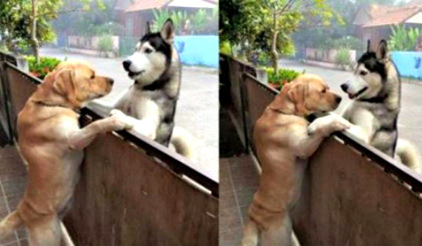 Dogs become best friends after finally meeting face to face