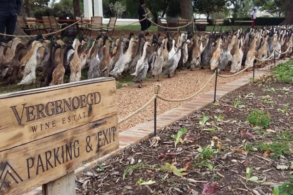 Army Of Ducks Pest-Proofs South African Winery