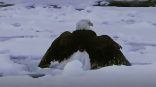 Bald Eagle Trapped in Ice