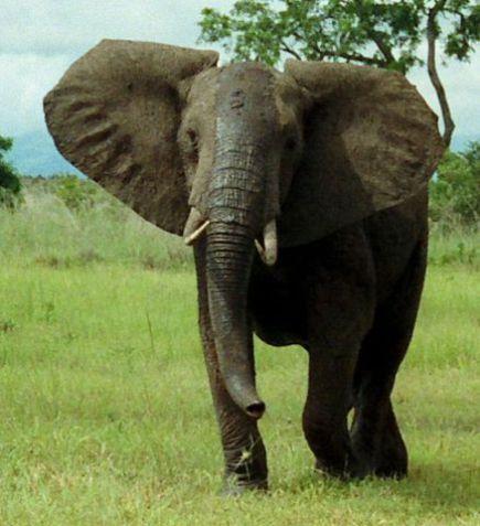 Elephat (Public Somain Image)