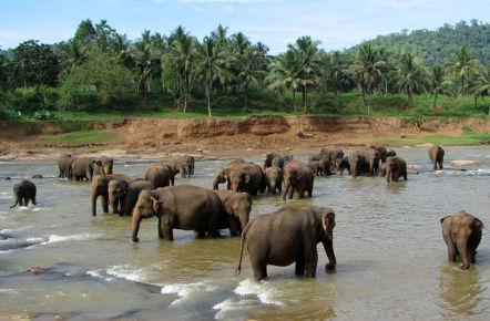 Elephants Bathing At Pinnawala