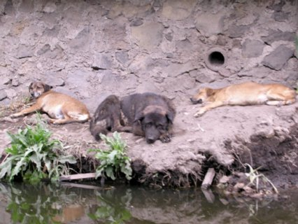 Feral Dogs in Mexico (Photo by Rick Hall/Creative Commons via Wikimedia)