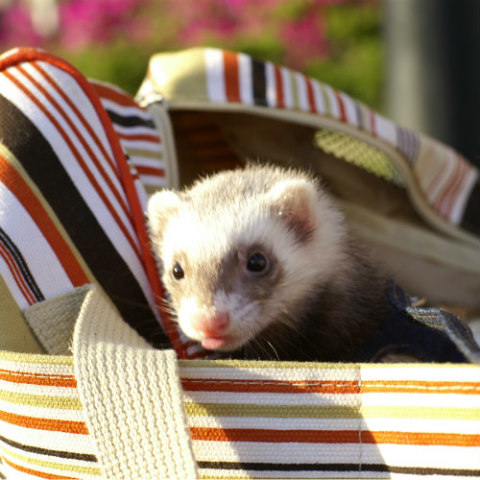 Creating A Home Your Ferret Will Love: Ferrets like to curl up just about anywhere