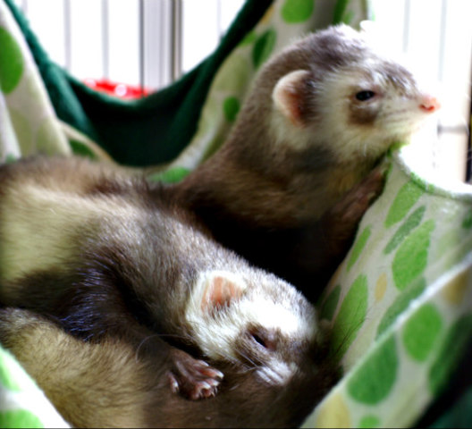 Ferrets Love to Sleep: Hammocks are ideal for ferrets during warmer months