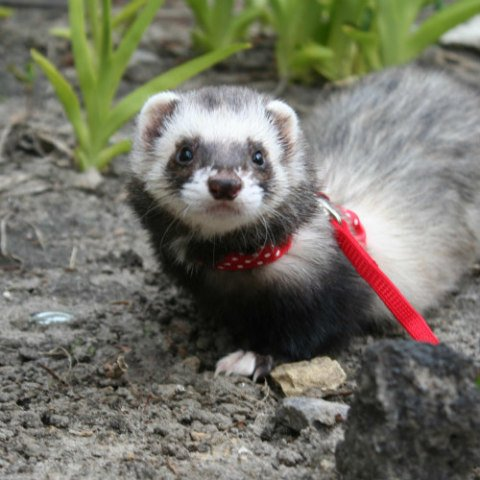 Ferrets are Curious & Social Creatures: Make sure your ferret gets plenty of exercise