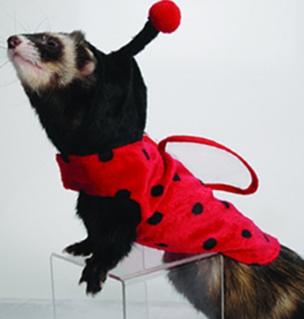 Ferret in ladybug costume