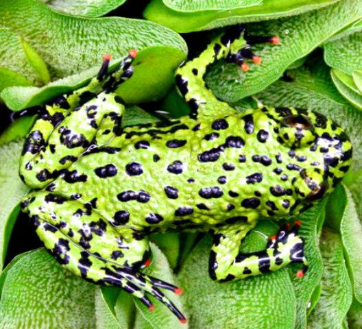 Fire-Bellied Toads Make Low Maintenance Pets: Good starter pets for kids