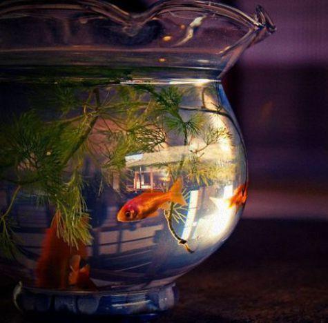 Goldfish Bowl (Photo by Miyuki Kobayashi/Creatice Commons via Wikimedia)