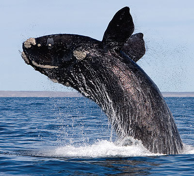 Southern right whales have a scaly head and a huge blowhole: image via sdnhm.org
