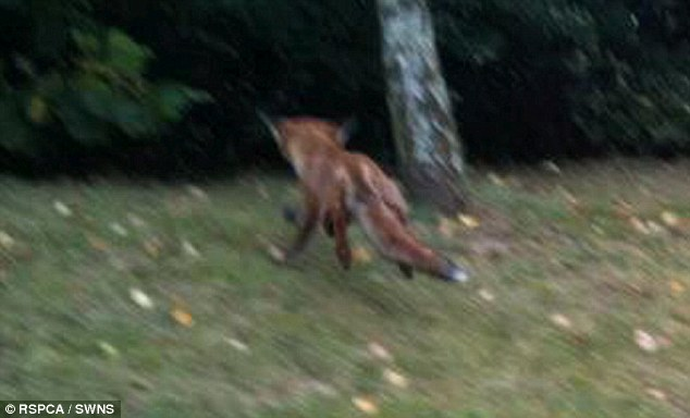 The fox was rescued without injuries and ran off into the woods to go about his day. Photos: RSPCA