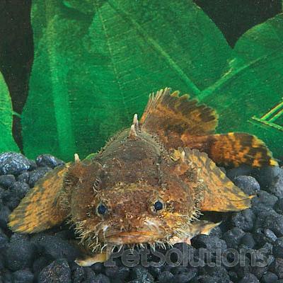 Freshwater lionfish