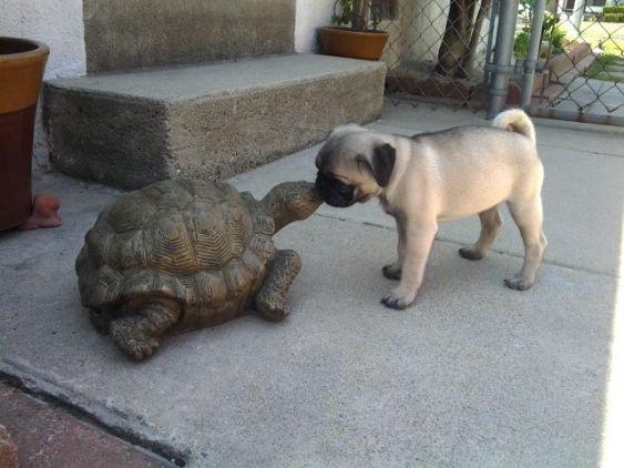 Pug and Turtle (Image via tumblr)