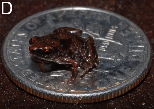 "Photograph from E. N. Rittmeyer et al. (2012). ""Ecological Guild Evolution and the Discovery of the World's Smallest Vertebrate"". PLoS ONE 7: e29797."