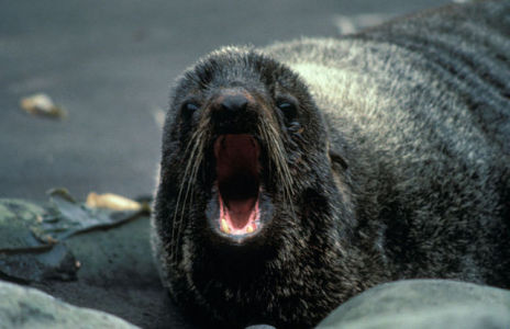 Northern Fur Seal (Public Domain Image)
