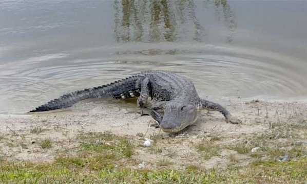 Florida Golfer Tries For A Birdie, Ends Up With A Gator