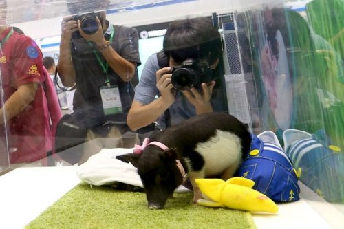 Chinese Scientists announce the sale of micro pigs as pets: Miniaturized pot belly pig