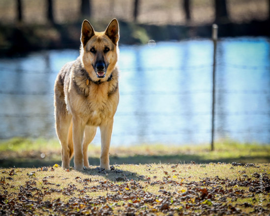 Canine Body Language: Alert ears and a steady gaze indicate watchful or wary behavior