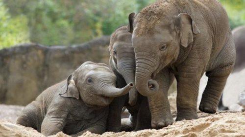 Baby elephants, Kavi, Ashoka, and Samiya, at Dublin Zoo