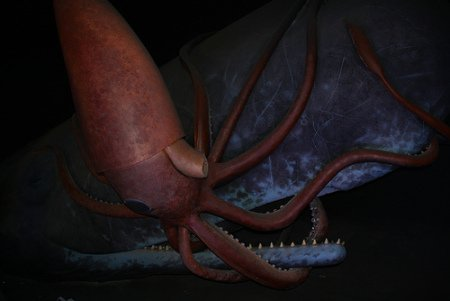 Museum Display of Giant Squid Fighting Sperm Whale: (Photo by siRRonWong /Creative Commons via Flickr)