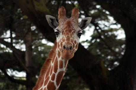 Giraffe (Photo by Brocken Inaglory/Creative Commons via Wikimedia)