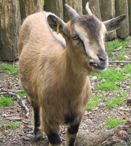 Goat (Photo by Leland/Creative Commons via Wikimedia)
