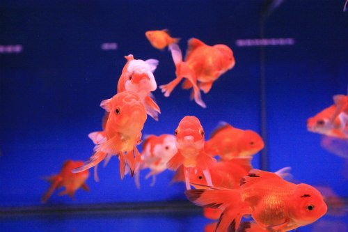 Caring for Goldfish