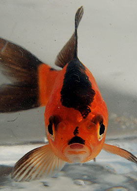 goldfish with moustache