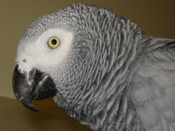 African Gray Parrot (Photo by Blackangel/Creative Commons via Wikimedia)