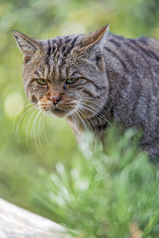 Swiss Zoo Wildcat: The Internet's Top 10 Grumpiest Cats