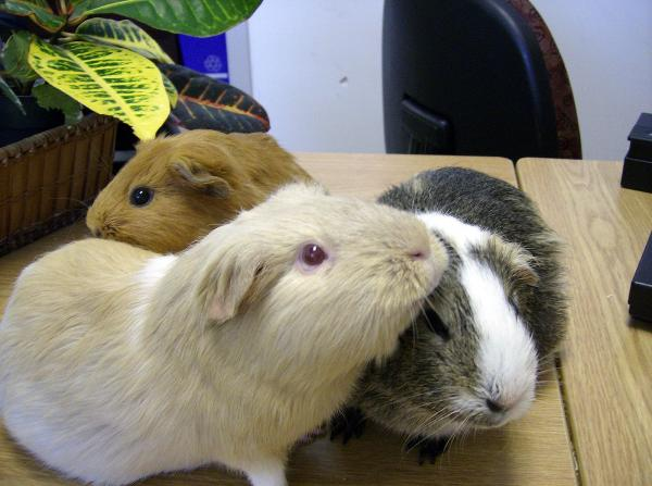 Guinea Pigs Engaged in Social Grooming