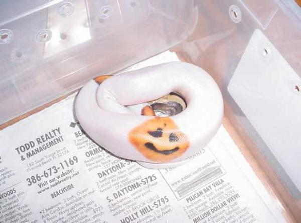 Jack-o'-lantern Snake Adds Herpetology To Halloween