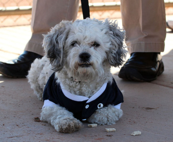 Hank, the Milwaukee Brewers' Newest Teammate (Image via JS Online)