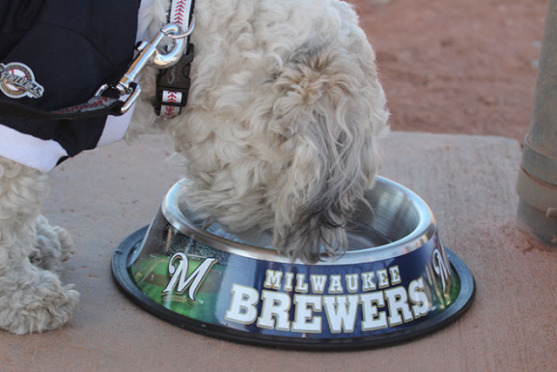 Hank Eats from an Official Milwaukee Brewers' Dog Bowl (Image via JS Online)