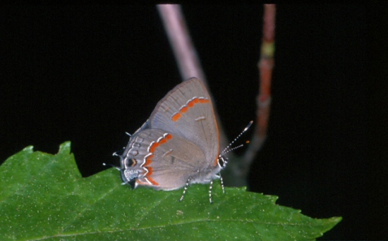Red-banded Hairstreak: Image by Harry Zirlin
