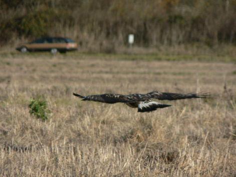 Rough-Legged Hawk Hungint (Photo by Walter Siegmund/Creative Commons via Wikimedia)