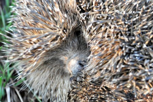 Hedgehogs As Pets: Hedgehog quills are quite prickly